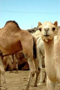 Chameau en Algerie